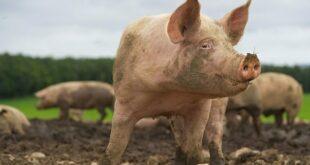 Φρικτός θάνατος για Ρωσίδα κτηνοτρόφο – Την έφαγαν ζωντανή τα γουρούνια της