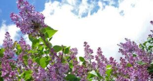 Άνθισαν οι Πασχαλίες – Γιατί θεωρούνται ευλογημένες από την Παναγία