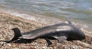Νεκρά δελφίνια ξεβράστηκαν σε ακτές νησιών του Αιγαίου – Κατά την τουρκική άσκηση «Γαλάζια Πατρίδα»