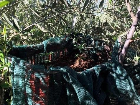 Καλλιεργούσε χασίς πάνω σε… ελαιόδεντρα!
