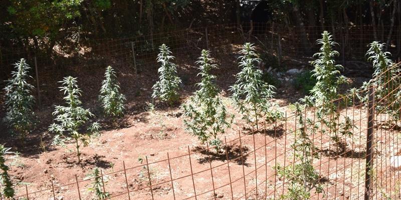 Συνελήφθη 71χρονος στην Τριφυλία που καλλιεργούσε 18 δενδρύλλια κάνναβης 1