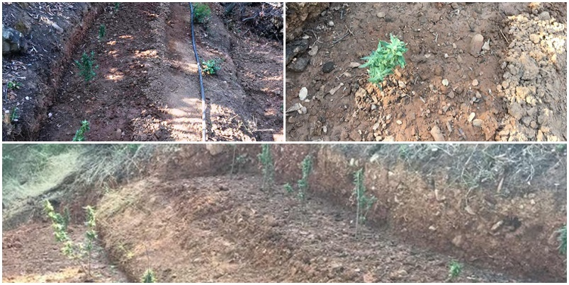 Συνελήφθη 53χρονος με φυτεία δενδρυλλίων κάνναβης στη Καλαμάτα (video) 12