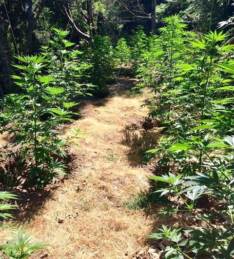 Εντοπίστηκε φυτεία με 263 δενδρύλλια και 1288 γραμμάρια κάνναβης στη Μεσσηνία 3