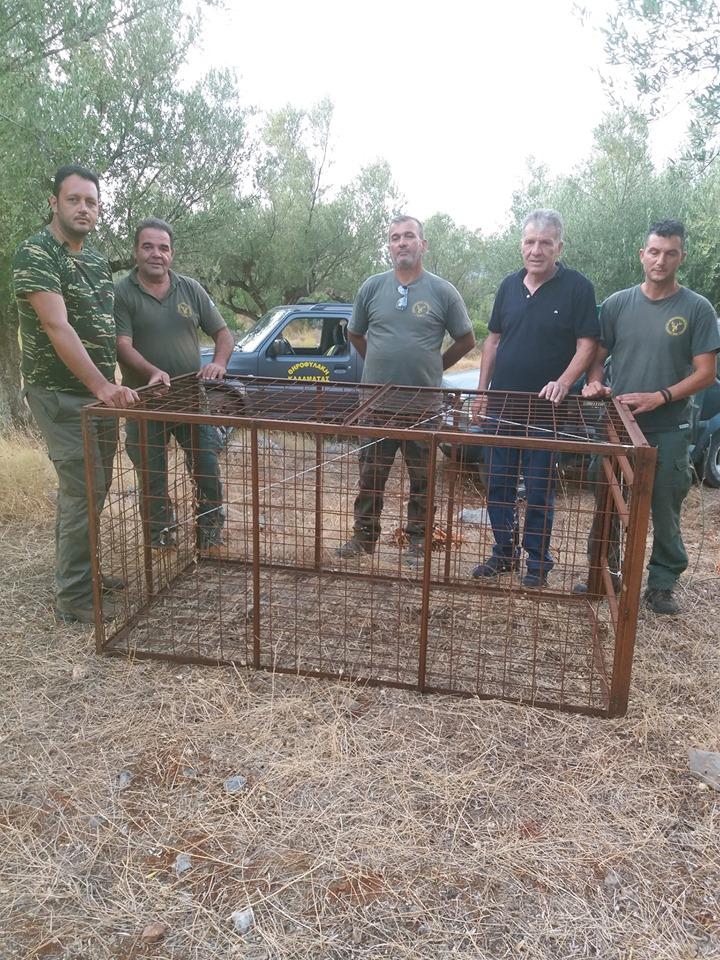 Λαθροθηρία αγριόχοιρων με κλουβιά στην Καλαμάτα 2