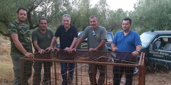 Λαθροθηρία αγριόχοιρων με κλουβιά στην Καλαμάτα 1