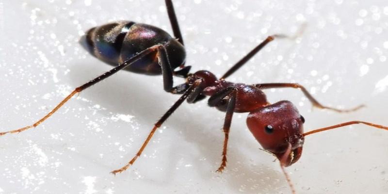 Δραπέτευσαν ένα εκατομμύριο μυρμήγκια κανίβαλοι 1