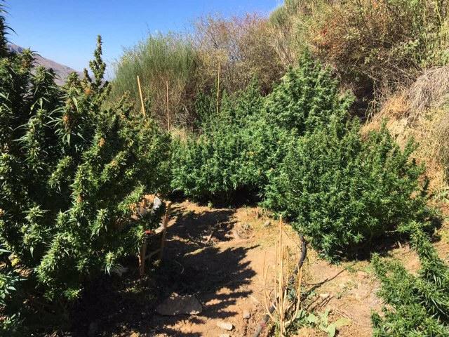Συνελήφθη 43χρονος στην Καλαμάτα, για καλλιέργεια φυτείας δενδρυλλίων κάνναβης 8