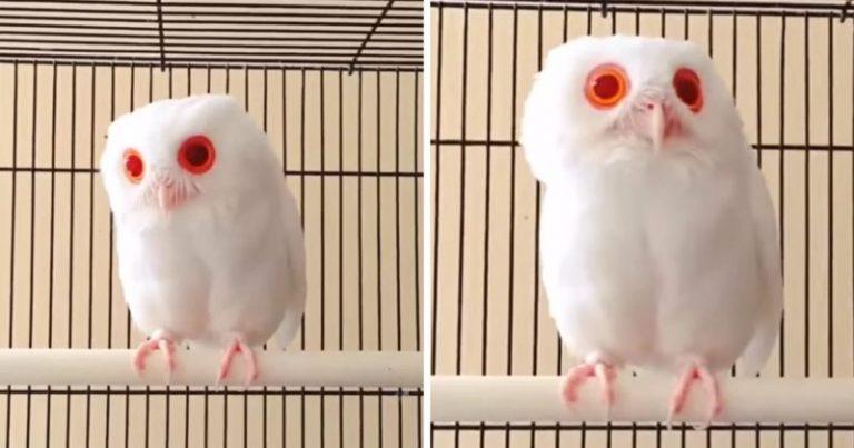 Η λευκή κουκουβάγια με τα κόκκινα μάτια, βλέποντας σε υπνωτίζει 9
