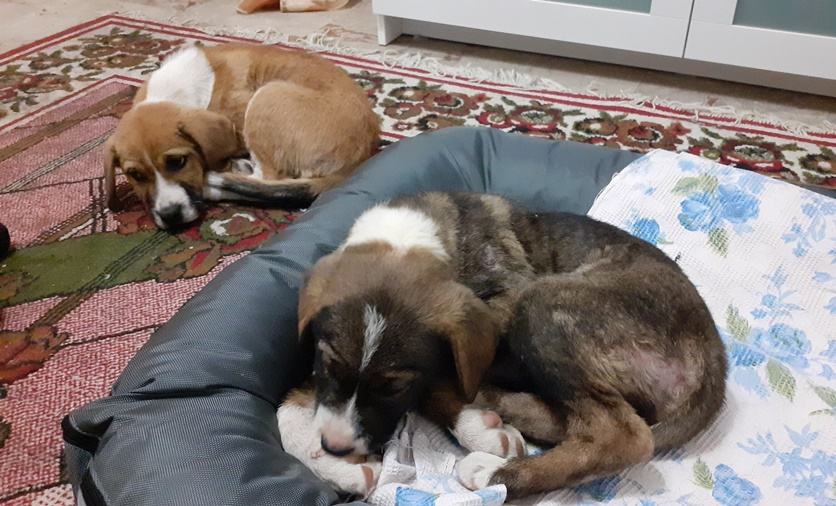 Εγκαταλειμμένα σκυλάκια στην Καλαμάτα αναζητούν οικογένεια 3