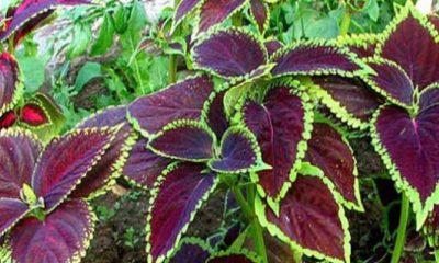 Αυτό το βότανο δεν πρέπει να λείπει από κανένα σπίτι – Δείτε τις απίστευτες θεραπευτικές του ιδιότητες 30