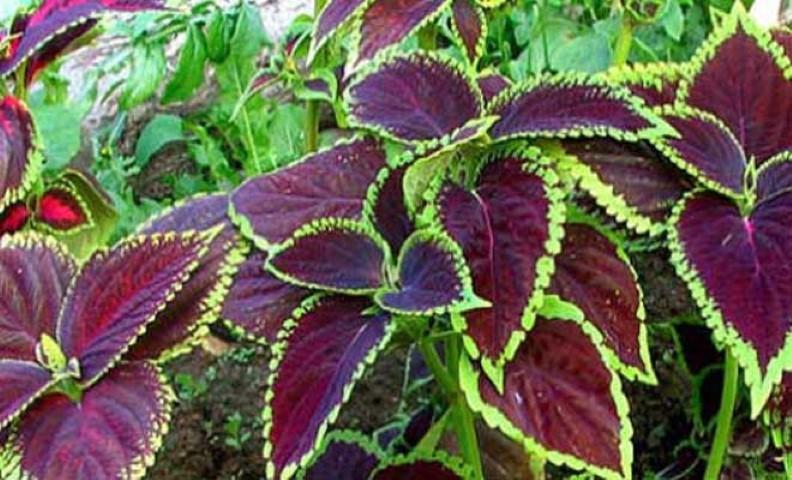 Αυτό το βότανο δεν πρέπει να λείπει από κανένα σπίτι – Δείτε τις απίστευτες θεραπευτικές του ιδιότητες 1