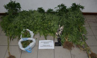 Καλαμάτα: Συνελήφθη 37χρονος να καλλιεργεί, σε αυτοσχέδια θερμοκήπια δενδρύλλια κάνναβης 7