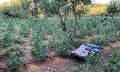 Συνελήφθησαν δυο άτομα που καλλιεργούσαν 640 δενδρύλλια κάνναβης στον Ταΰγετο, τραυμάτισαν δύο αστυνομικούς 2