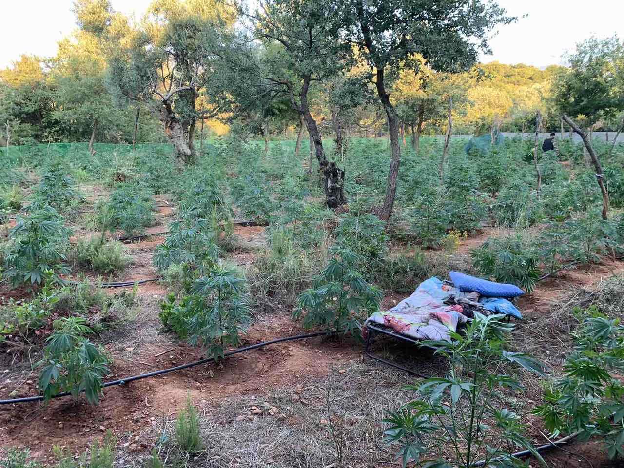 Συνελήφθησαν δυο άτομα που καλλιεργούσαν 640 δενδρύλλια κάνναβης στον Ταΰγετο, τραυμάτισαν δύο αστυνομικούς 1