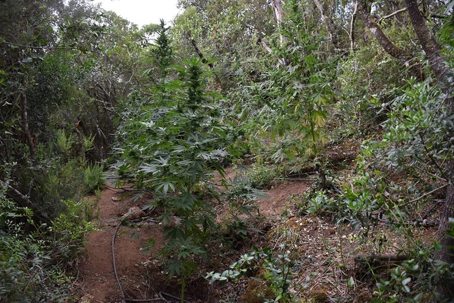 φυτεία δενδρυλλίων κάνναβης