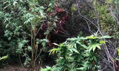 Βρήκαν «ορφανή» φυτεία με 102 χασισόδεντρα στη Μεσσηνία 8