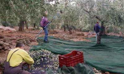 Τεστ ταχείας ανίχνευσης του Κορωνοϊού για τους εργάτες ελαιοσυγκομιδής 19