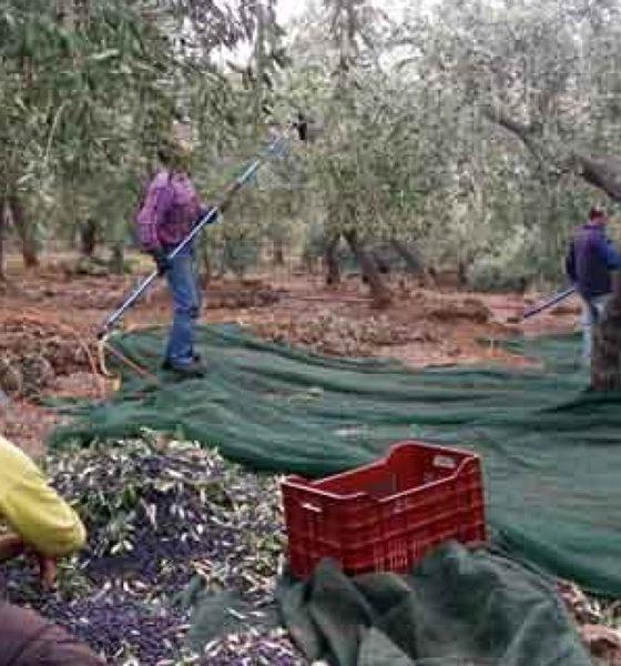 Τεστ ταχείας ανίχνευσης του Κορωνοϊού για τους εργάτες ελαιοσυγκομιδής 40