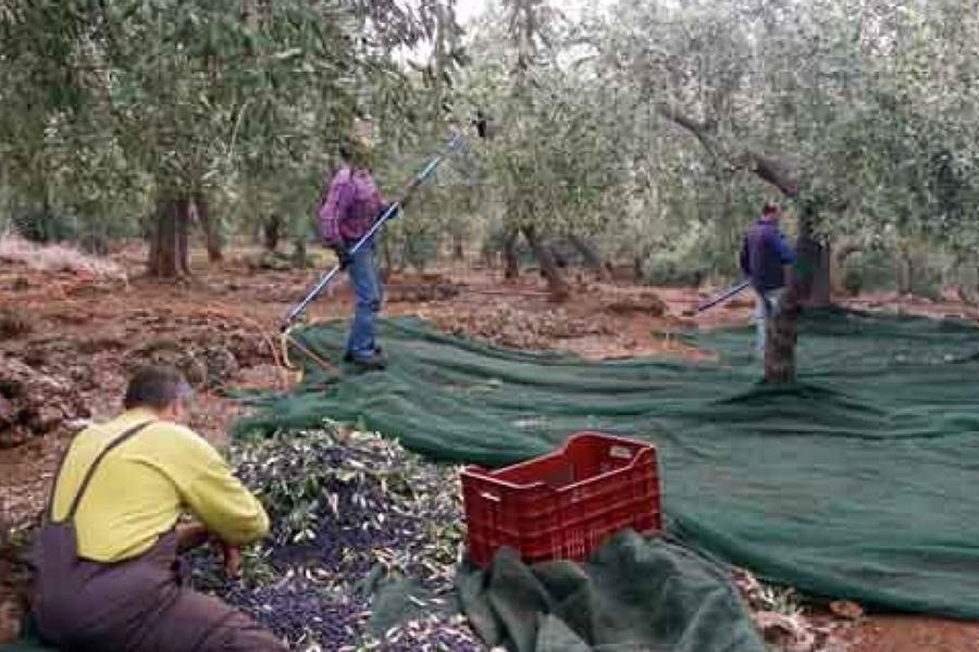Τεστ ταχείας ανίχνευσης του Κορωνοϊού για τους εργάτες ελαιοσυγκομιδής 14