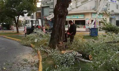 Συνεργείο του Δήμου Καλαμάτας έκοψε λεύκα στο κέντρο της πόλης 11