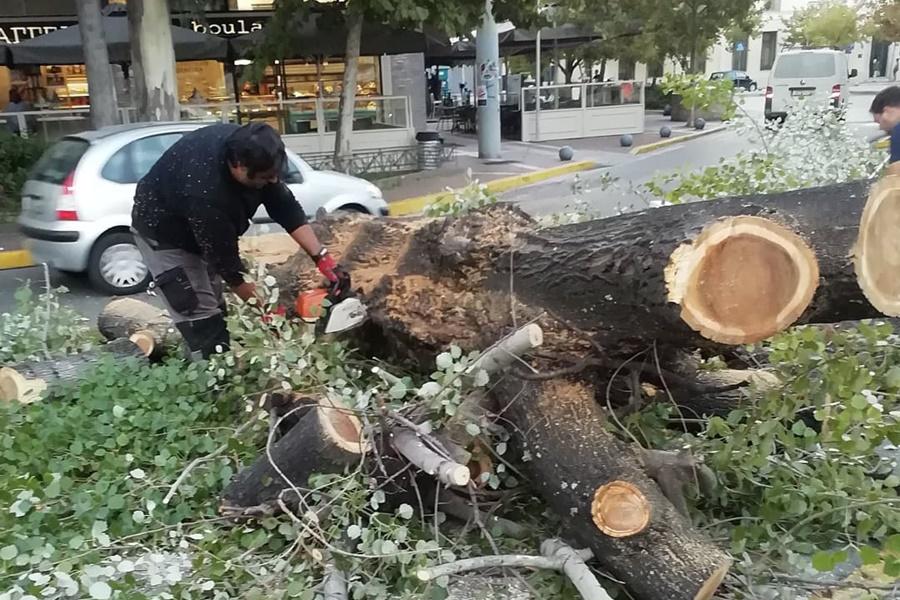 Συνεργείο του Δήμου Καλαμάτας έκοψε λεύκα στο κέντρο της πόλης 4