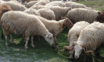 Κρούσματα καταρροϊκού πυρετού σε κοπάδια προβάτων στην Καλαμάτα - Άμεσες ενέργειες από ΠΕ Μεσσηνίας 8